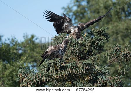 Two Immature Bald Eagles In A Tree