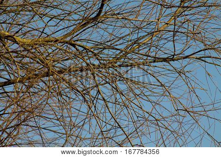 A Tree in Winter without any Leaves against the Afternoon Sky.