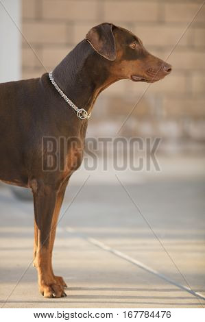 Red Doberman Pinscher standing in a patio focused on owner's instructions
