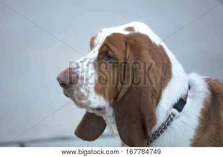 Basset Hound standing outdoors in a residential area