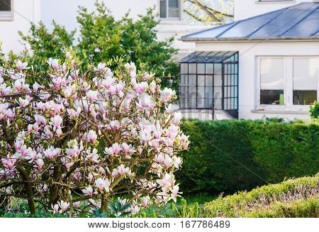 Beautiful Magnolia tree in bloom with magnificent flowers in he garden with French house in the background - spring is here