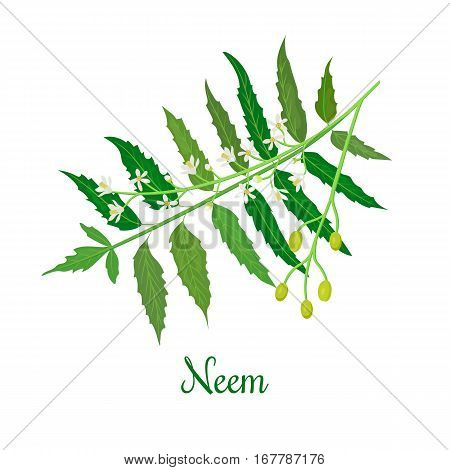 Neem or nimtree. Ayurvedic Herb. Health and Nature. medicinal plant. Design for essential oil, natural cosmetics, health care products, aromatherapy, homeopathy. For prints, poster, logo tag label