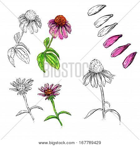 hand drawn vector flowers echinacea. set of plants.