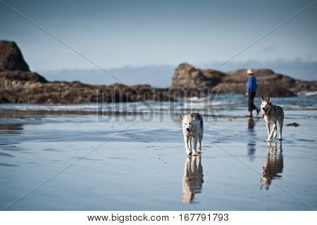 huskies dogs taking a walk with a woman in beach of Ruby Beach Olympic National ParkWashington State USA