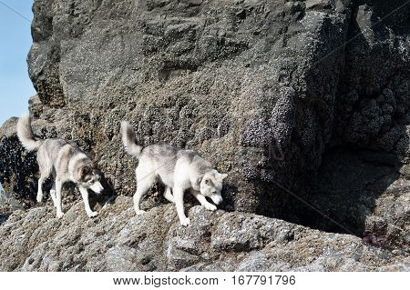 huskies dogs walking safely in cliffs in Ruby Beach Olympic National ParkWashington State USA
