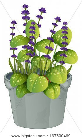 Lavender flowers in flowerpot illustration