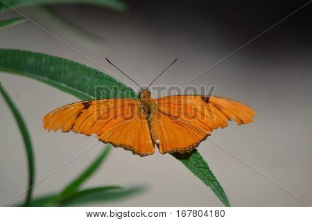 Julia Longwing Butterfly