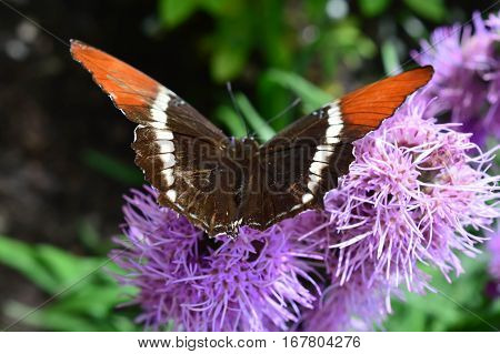 Red Admiral Butterfly On The Pink Flower