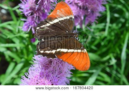 Red Admiral Butterfly On The Flower