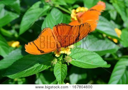 Dryas Julia Butterfly