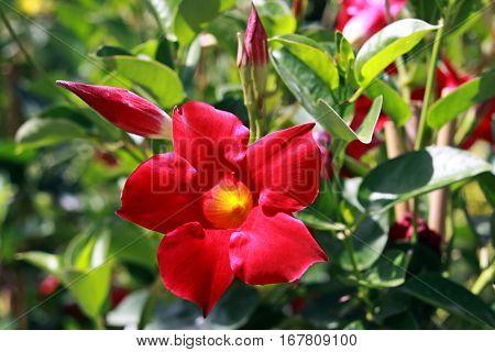 Bud and red flower of liana dipladeniya closeup