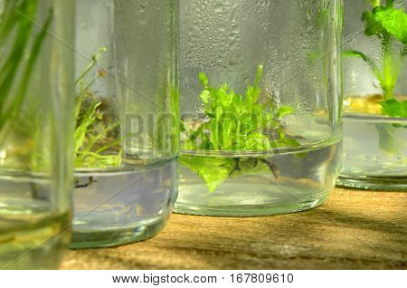 Tissue culture plant from cultured cells in shade light.