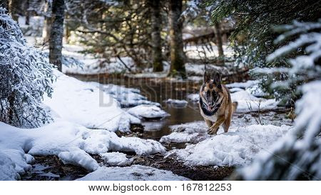 German Shepherd Dog running down snow covered path in the woods. poster