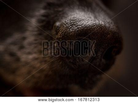 Closeup Of German Shepherd Nose