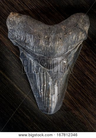 Fossilized Megalodon Shark Tooth On Dark Background