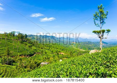 Haputale Tea Plantation Valley Mountains View H