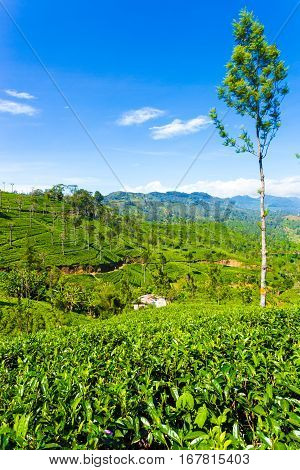 Haputale Tea Plantation Valley Mountains View V