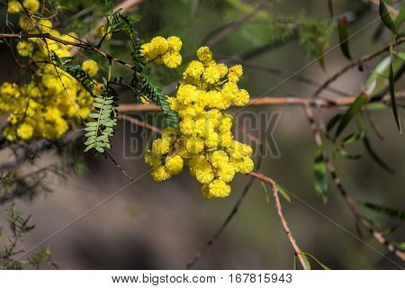 Acacia Flowers Close Up. Australian Wattle In Spring
