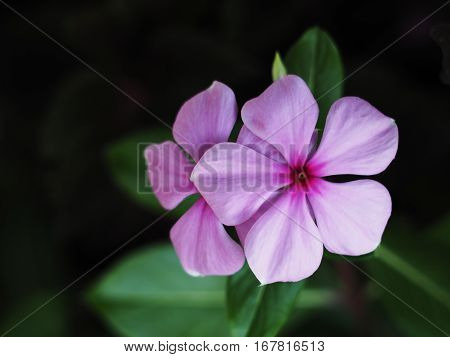 beautiful pink vinca flowers (madagascar periwinkle) over dark background