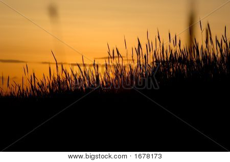 Grass Sillouette At Sunset