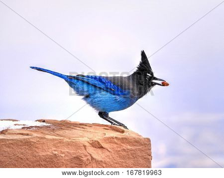 Blue bird on red stone. Steller's jay. Blue jay. Native to western North America. Bryce Canyon National Park. Utah. United States.