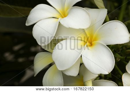five petal white flowers frangipani ( plumeria ) with yellow center on the green leaf background close up selective focus