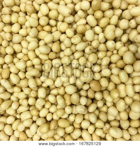 freshly harvested and washed yellow creamer potatoes