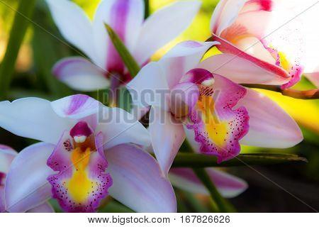 Rhynchostylis retusa big orchids flower popular for wedding in Thailand.