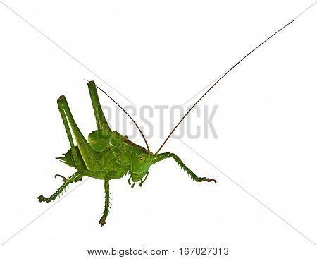 The green grasshopperon on a white table