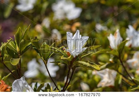 Beautiful White azalea flowers bloom in greenery