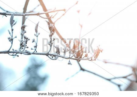 Frozen branch with inflorescences on blurred winter background