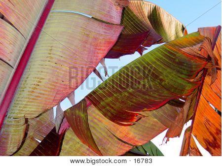 Colorful Banana Leaves