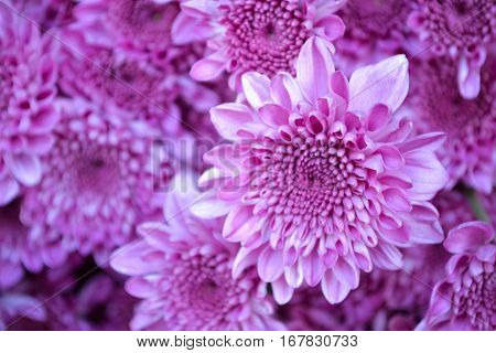 These are pink flowers called Chrysanthemum or Florist's Mun or mums flowers. And a sacred flower of China.
