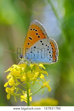 Common Blue (Polyommatus icarus) butterfly on a yellow flower