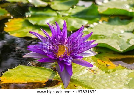 Nature background concept : Purple lotus flower blooming in the garden, purple lotus flower opened on pond with yellow center, purple waterlily with green leaf
