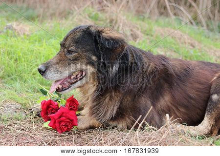 Cutie and lovely dog is waiting its owner with a beautiful of artificial red roses