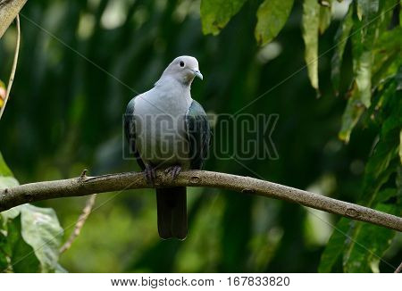 beautiful Green Imperial Pigeon (Ducula aenea) standing on branch