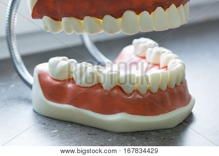 Upper and lower jaw dental model. Dental hygiene education concept background with copy space.