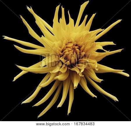 Yellow-brown Dahlia flower black isolated background with clipping path. Closeup. no shadows. For design. Bright shaggy flower. Nature.