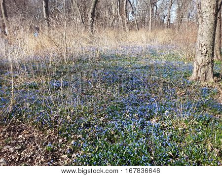 Field of Forget Me Knot flowers in the springtime