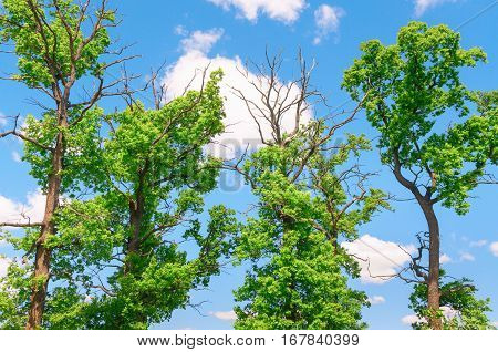 Crowns of trees on a background of blue sky with clouds