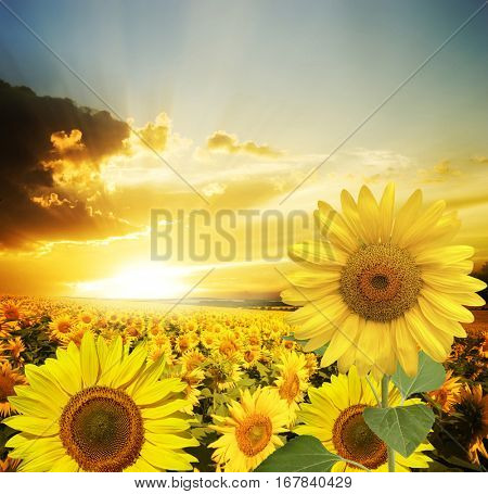 Field of flowers sunflowers on a background sunset