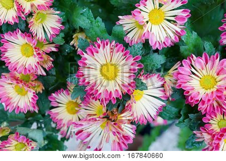 Closed up Center selective focus Yellow pink flower Chrysanthemum background