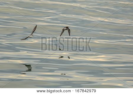 Calidrids or typical waders fly over the Pacific Ocean