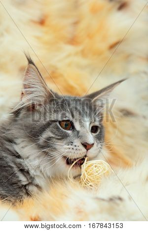 Kitten of Maine coon is playing on spotted fur background