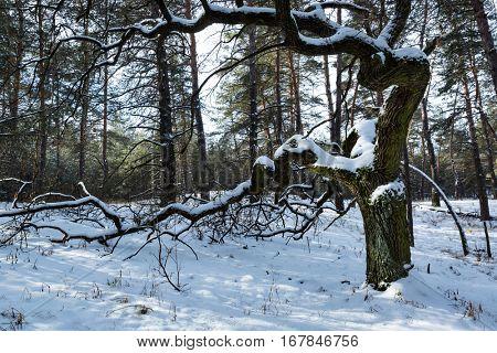 old oak tree in winter forest