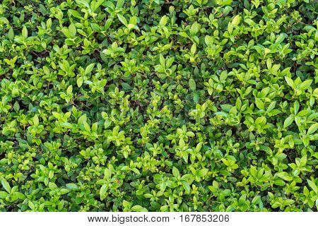 foliage and leaves for natural textured background of green color