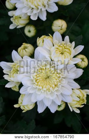 These are white flowers called Chrysanthemum or Florist's Mun or mums flowers. And a sacred flower of China.