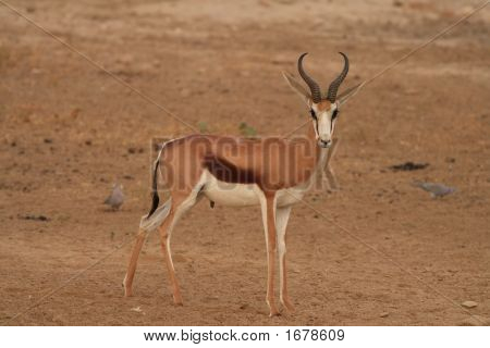Springbok Ram Portrait 1