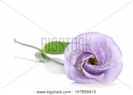 beauty violet eustoma flower on white background